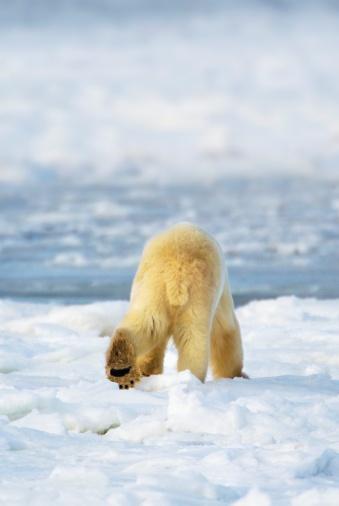 Polar Bear「Churchill, Manitoba, Canada」:スマホ壁紙(1)