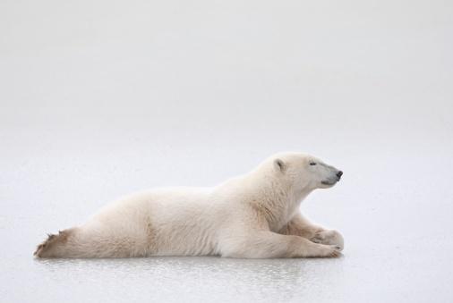 Polar Bear「Churchill, Manitoba, Canada」:スマホ壁紙(2)