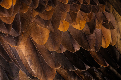 Animal Body Part「Golden Eagle's feathers」:スマホ壁紙(9)