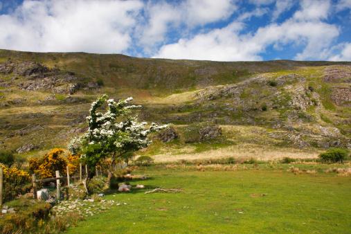 Hawthorn「Flowering Tree In A Field In The Gap Of Dunloe Valley Outside Killarney」:スマホ壁紙(3)
