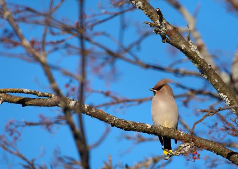 Bohemian Waxwing「Sweden, waxwing (Bombycilla garrulus) perched on branch」:スマホ壁紙(2)