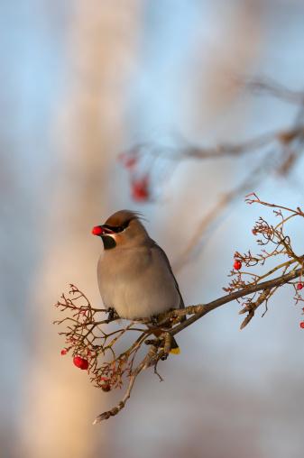 Bohemian Waxwing「Sweden, waxwing (Bombycilla garrulus) eating rowan berries」:スマホ壁紙(3)