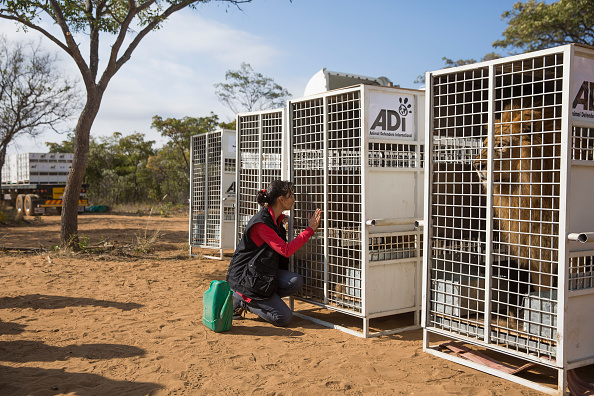Three Lions「Thirty Three Former Circus Lions Are Airlifted Back To South African Sanctuary」:写真・画像(16)[壁紙.com]