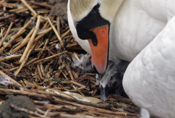 Beak「Record Hatchings As Swannery Recovers From Bird Flu Outbreak」:写真・画像(18)[壁紙.com]