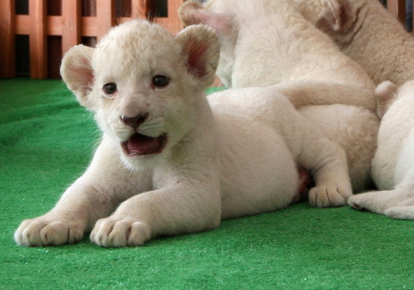 Three Lions「Seven Newly Born Lion Cubs On Display To The Public」:写真・画像(17)[壁紙.com]