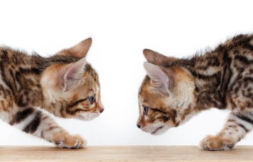 ベンガル猫「Bengal kittens」:スマホ壁紙(10)