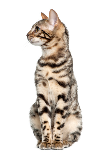 子猫「Bengal kitten sitting and looking left」:スマホ壁紙(6)