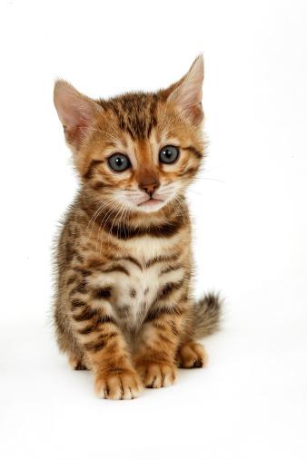 ベンガル猫「Bengal kitten」:スマホ壁紙(6)