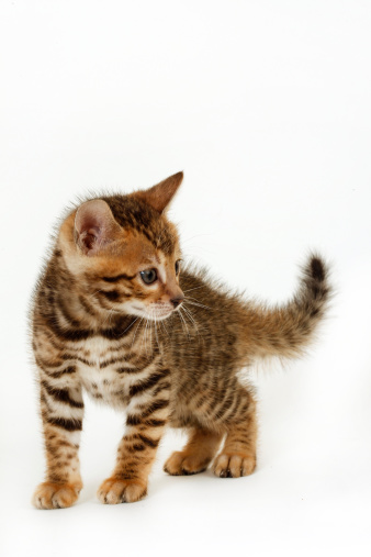 Kitten「Bengal kitten」:スマホ壁紙(0)