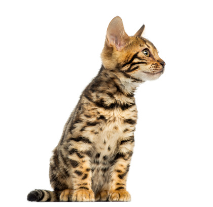 子猫「Bengal kitten sitting, looking away」:スマホ壁紙(12)