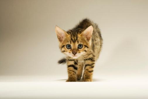 ベンガル猫「Bengal kitten with hair standing on end, close-up」:スマホ壁紙(3)