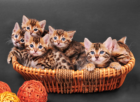子猫「ベンガル kittens のバスケット」:スマホ壁紙(5)
