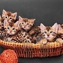 ベンガル猫壁紙の画像(壁紙.com)