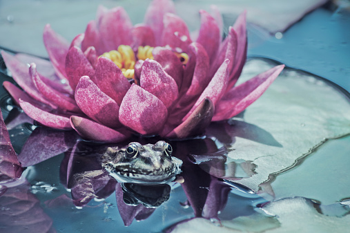 Water Lily「Frog in pond by a water lily, Zagreb, Croatia」:スマホ壁紙(8)
