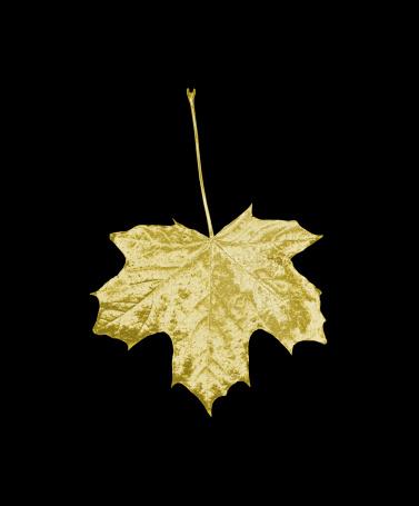 セイヨウカジカエデ「Gold sycamore leaf on a black background」:スマホ壁紙(3)