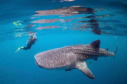カタツムリ「Diver photographing a whale shark.」:スマホ壁紙(6)