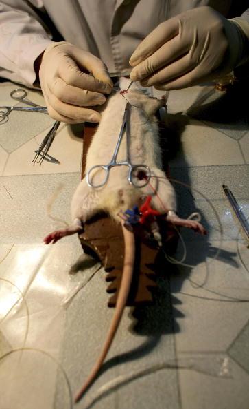 動物「Doctors Carry Out Experiment On Rats In A Hospital Laboratory」:写真・画像(2)[壁紙.com]