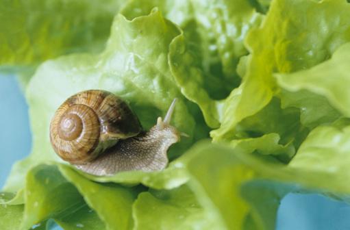 カタツムリ「Snail (Gastropoda) on green salad」:スマホ壁紙(3)