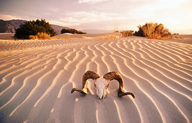 """Rams's skull in desert, Death Valley, California, USA."":スマホ壁紙(壁紙.com)"