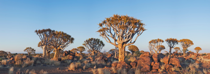 Namib-Naukluft National Park「Quiver tree (Aloe dichotoma) Indigenous and endemic to the hot and dry southern part of Namib desert. Namib-Naukluft National Park, Namibia, Africa」:スマホ壁紙(15)