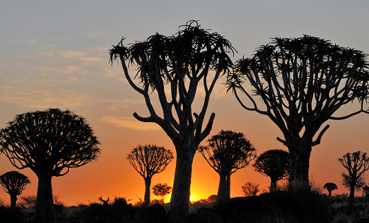 Quiver Tree「Quiver tree silhouettes at sunset in Keetmanshoop,Namibia」:スマホ壁紙(4)