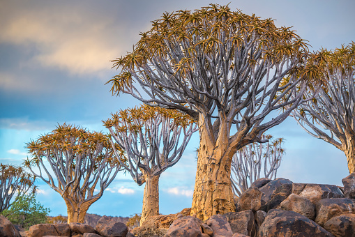 Quiver Tree「Quiver tree (Aloe dichotoma) forest in the Playground of the Giants」:スマホ壁紙(3)