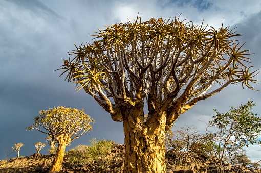 African Aloe「Quiver tree (Aloe dichotoma) forest in the Playground of the Giants」:スマホ壁紙(19)
