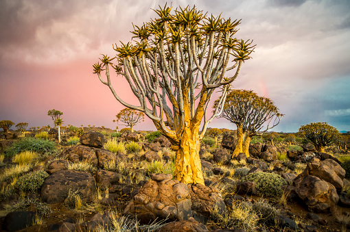 Quiver Tree「Quiver tree (Aloe dichotoma) forest in the Playground of the Giants」:スマホ壁紙(18)