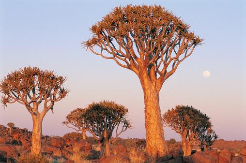 African Aloe「Quiver Trees, near Keetmanshoop, Namibia, Africa」:スマホ壁紙(10)