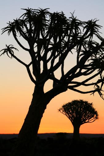 African Aloe「Quiver trees」:スマホ壁紙(18)