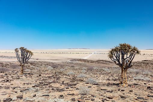 Namib-Naukluft National Park「Quiver trees and savanna in Namib-Naukluft National Park in Erongo Region, Namibia, 2018」:スマホ壁紙(8)