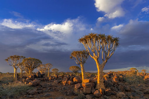 Quiver Tree「Quiver Trees and a Nearby Thunderstorm, Southern Namibia」:スマホ壁紙(10)