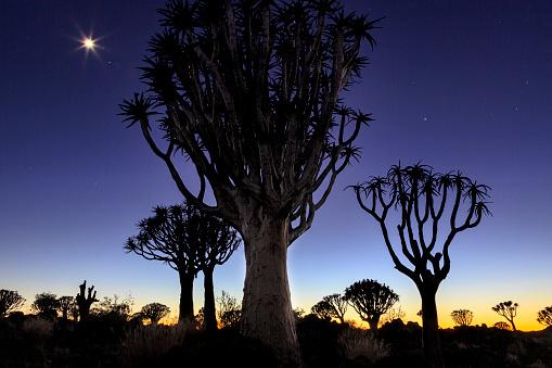 African Aloe「Quiver tree Forest at sunrise, Keetmanshoop, Namibia」:スマホ壁紙(14)