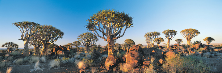 Quiver Tree「Quiver Tree Forest near Ketmanshoop, Namibia, Africa,」:スマホ壁紙(5)
