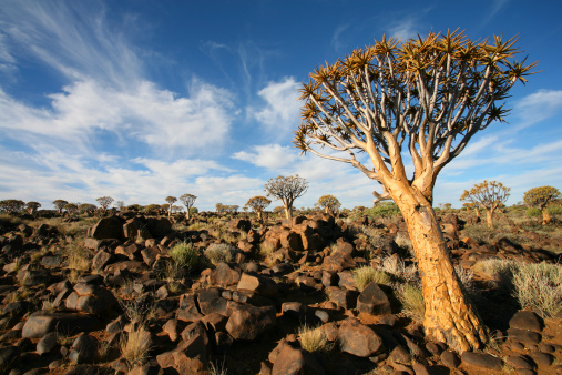 African Aloe「Quiver trees , Quiver Tree Forest , Namibia」:スマホ壁紙(12)