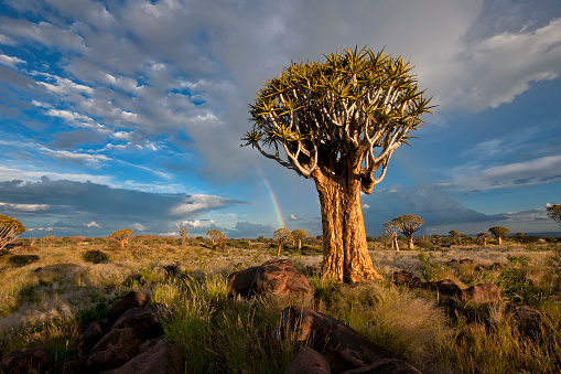Quiver Tree「Quiver Tree Forest with a Rainbow after a Thunderstorm, Keetmanshoop, Namibia」:スマホ壁紙(16)