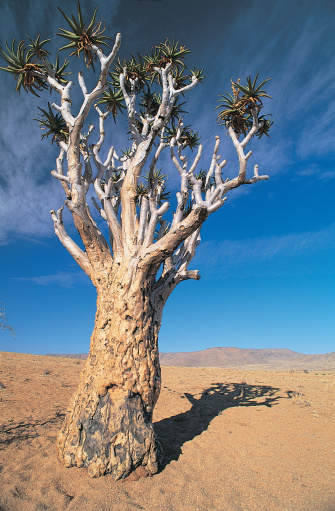 African Aloe「Quiver tree near Keetmanshoop, Namibia, Africa」:スマホ壁紙(11)