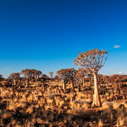 Namibia「Quiver Tree Forest」:スマホ壁紙(10)