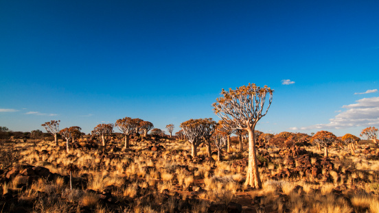 Kalahari Desert「Quiver Tree Forest」:スマホ壁紙(14)