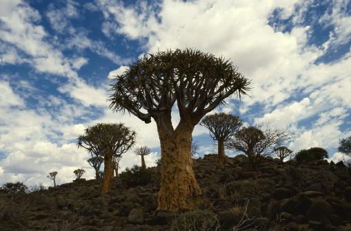 African Aloe「Quiver Trees」:スマホ壁紙(13)