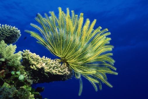 Soft Coral「Crinoid on coral head」:スマホ壁紙(18)