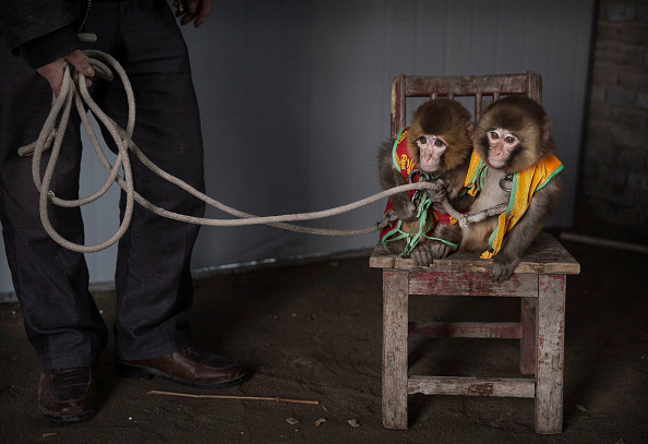 Kevin Frayer「Chinese New Year Boosts Monkey Business for Villagers」:写真・画像(14)[壁紙.com]
