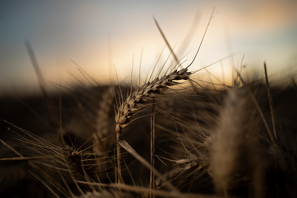 Wheat「UK Wheat Growers See Smaller Yields After Wet Winter And Dry Spring」:写真・画像(5)[壁紙.com]