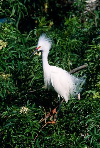 Choosing「Snowy egret」:スマホ壁紙(8)
