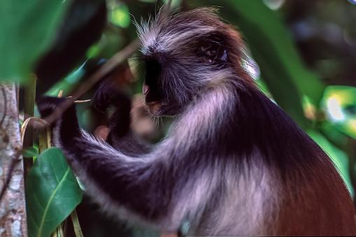 The Nature Conservancy「Red Colobus monkey in Jozani Park, Zanzibar」:スマホ壁紙(17)