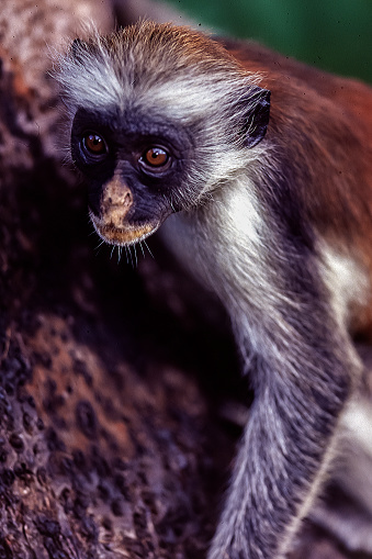 The Nature Conservancy「Red Colobus monkey in Jozani Park, Zanzibar」:スマホ壁紙(19)