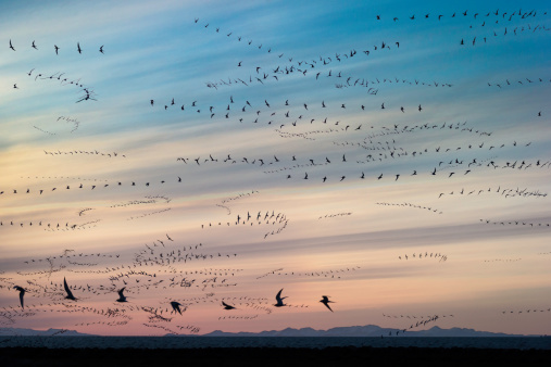 Flock Of Birds「Arctic Terns (Sterna paradisaea), Iceland」:スマホ壁紙(0)