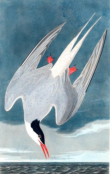 Hand Colored「Arctic Tern」:写真・画像(5)[壁紙.com]