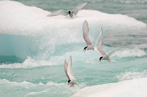 大昔の「Arctic tern of Iceland」:スマホ壁紙(13)