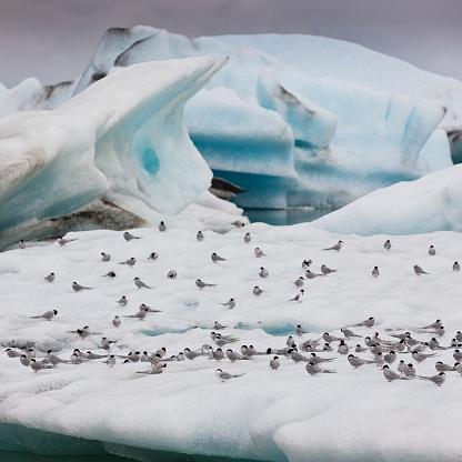 Pack Ice「Arctic Terns on Icebergs」:スマホ壁紙(4)